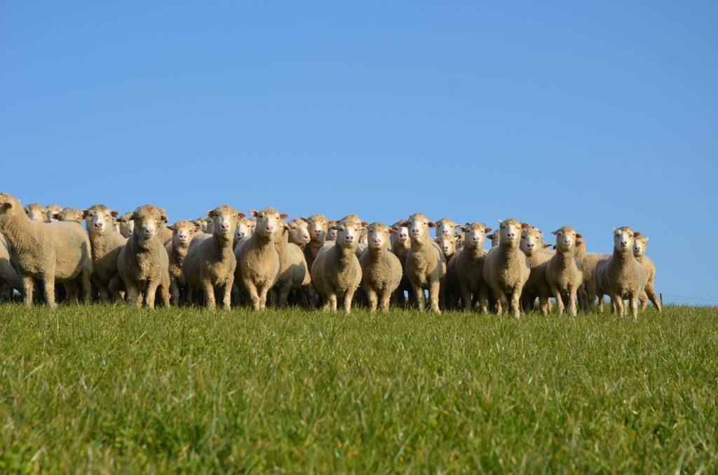 Ewes spring 2016