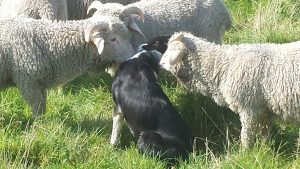 Dog and Ram Lambs Passing the Time of Day