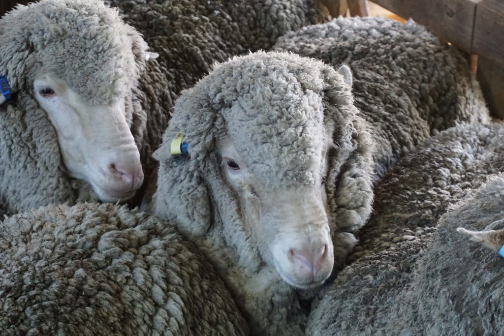 Glenara ewes